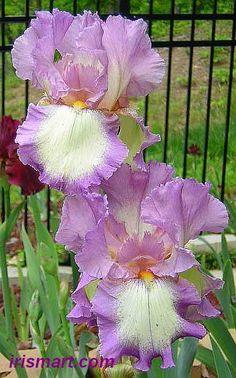 ~Tall Bearded Iris 'Velvet Ring' (Iris germanica)