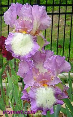 Tall Bearded Iris 'Velvet Ring' (Iris germanica)