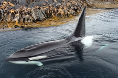 """marion-island-orcas: """" Poseidon in 2013 Photo credit goes to """"Ethelwulf"""" on Deviantart """" Orcas, Wale, Water Life, Ocean Creatures, Mundo Animal, Killer Whales, Whale Watching, Ocean Life, Marine Life"""