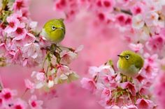 Beautifully colorful little birds on cherry blossom trees by Sue Hsu