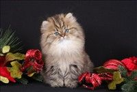 Teacup Persian Kitten... $6500 price tag... no big deal!