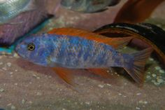 Orange Bloch (OB) variant of the Labeotropheus trewavasae. I have been dealing with aquarium fish on a wholesale level since Aquarium fish are my life and my passion. Malawi Cichlids, African Cichlids, Colorful Fish, Tropical Fish, Cichlid Fish, Lake Tanganyika, Rare Fish, Live Aquarium Fish, Aquarium Accessories
