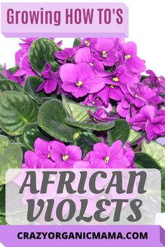Although African violets can be finicky, producing beautiful plants isn't hard as long as you have some simple knowledge of their growing needs. Container Gardening Vegetables, Succulents In Containers, Container Flowers, Container Plants, Vegetable Gardening, Growing Plants Indoors, Growing Vegetables, House Plants Decor, Plant Decor