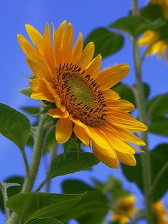 sunflower by alessandrotraverso Happy Flowers, Love Flowers, Yellow Flowers, Beautiful Flowers, Sun Flowers, Sunflower Garden, Sunflower Art, Sunflowers And Daisies, Tulips