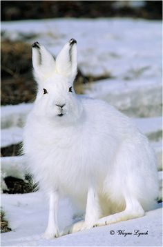 Arctic hare - These striking creatures can be found in Arctic regions of Alaska, Canada and Greenland. In the winter months, the Arctic hare's coat turns white, allowing it to blend in with the snow, but in the summer, the coat is generally a a gray-brown color.