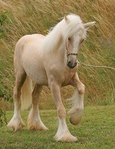 palomino draft horse