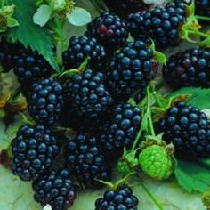 """Triple Crown is named for its three attributes; flavor, productivity and vigor. This very hardy variety offers two other attributes; disease resistance and very large berries. The thornless blackberry ripens for about one month from end of July thru August. Semi-erect, the canes can be trellised or pruned in summer to an easy picking height of 42""""."""