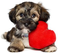 TagsForHope creates the cutest pet ID tags that keep your pets safe. Order today for fast manufacturing and shipping! Havanese Puppies, Cute Puppies, Cute Dogs, Dogs And Puppies, Yorkie, Pet Id Tags, Dog Tags, Animal Pictures For Kids, Animals And Pets
