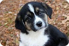 11/29/14 Yardley, PA - Border Collie/Great Pyrenees Mix. Meet Teddie H~B, a puppy for adoption. http://www.adoptapet.com/pet/12003462-yardley-pennsylvania-border-collie-mix
