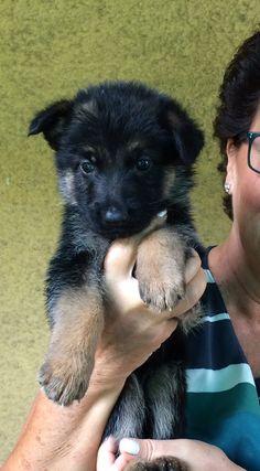 GSD Puppy-Jackie