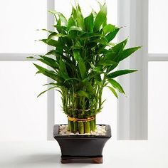 """So why is Lucky Bamboo considered lucky ? Lucky Bamboo is one of the most popular feng shui cures. You can see feng shui lucky bamboo in most floral shops nowadays. These cute little arrangements in their exotic containers are stalks of Dracaena sanderiana, a plant native to the equatorial West African region. They are not bamboo. [image] View 