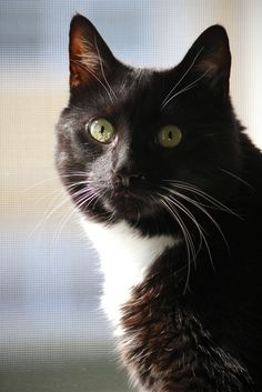 Beautiful Tuxedo CatThis is what my Caycee looks like!!