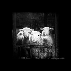 Sheep - 8x8 Fine Art Photography Print - sheep in black and white - original signed photo print