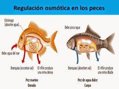 Resultado de imagen de peces oseos de agua dulce