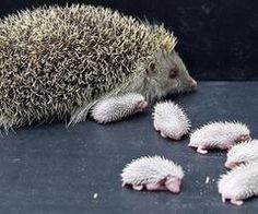 hedgehog and hedgehog babies