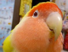 Rosy-faced lovebird-REI   (もふもふコザクラインコのレイちゃん|セキセイインコアルの精巣腫瘍闘病日記&オカメインコ・レキ/セキセイインコ・レティ/コザクラインコ・レイ/マメルリハ・レミィから)