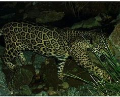 "The last U.S. jaguars and ocelots are already struggling to survive, and now militarization of ""security"" at the U.S. border threatens their existence even more. Save endangered wildlife from misguided border security projects."