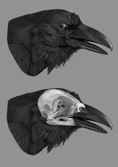 Bird skull anatomy art 55 Ideas for 2019 Crow Skull, Bird Skull, Animal Skeletons, Animal Skulls, Anatomy Drawing, Anatomy Art, Anatomy Study, Corvo Tattoo, Rabe Tattoo
