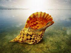 Triton conch