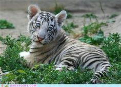 Look at the Big Baby Blues of this White Tiger Cub... irresistable!