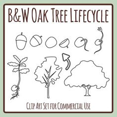 Oak Tree Life Cycle Clipart Set - 11 pieces of clip art in a pack or bundle for your worksheets or educational resources. All images or pictures are high resolution so you can have large illustrations of them and they'll still be clean and beautiful. Tree Life Cycle, Black And White Printer, March 21st, International Day, Oak Tree, Life Cycles, Forests, Worksheets, Clip Art