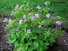géranium nodosum Hardy Geranium, Uni, Home And Garden, Plants, Gardens, Flowers, Flora, Planters