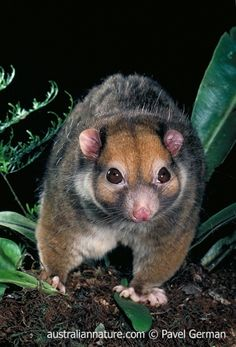 Painted Ringtail (Pseudochirulus forbesi) - Also known as the Moss-forest Ringtail, this small possum is endemic to the montane rainforests of eastern New Guinea. Reptiles, Mammals, Wild Life, Australian Animals, Animal Facts, Woodland Creatures, Animals Of The World, Cute Baby Animals, Animal Photography