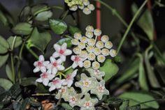 Hoya eitapensis, Hoya serpens i Hoya laucnosa cv 403