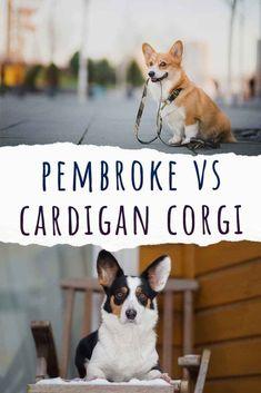 pembroke vs cardigan corgi Lazy Dog Breeds, Corgi Breeds, Fun Facts About Dogs, Dog Facts, Designer Dogs Breeds, Hypoallergenic Dog Breed, Smartest Dog Breeds, Beautiful Dog Breeds, Dogs And Kids