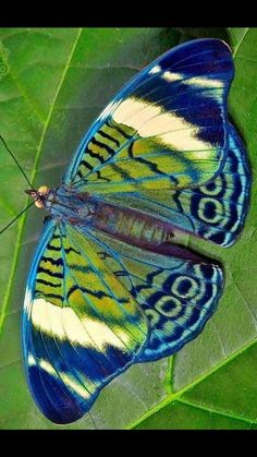 Beautiful Bugs, Beautiful Butterflies, Beautiful Creatures, Animals Beautiful, Colorful Moths, Op Art, Flying Flowers, Butterfly Drawing, Butterfly Pictures