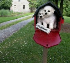 This would be awesome to find in the mail! Two #bichon #puppies #mailbox