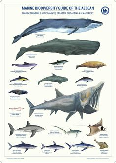 Marine Biodiversity Guide of the Aegean: Mammals and Sharks mammals Marine Biodiversity Guide of the Aegean: Mammals and Sharks Extinct Animals, Prehistoric Creatures, Ocean Creatures, Sea Monsters, Marine Life, Pet Birds, Animal Kingdom, Mammals, Tropical Fish