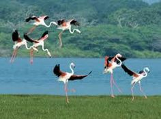 Flamingos at Yala national park. For privat Sri Lanka tours contact susantha2803@gmail.com