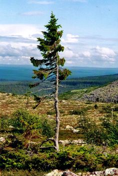 The world's oldest tree - 9,500 years old, in Sweden.