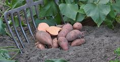 Decorative leaves, pretty flowers and nutrient-rich tubers: sweet potatoes, a vegetable of the genus Mini Farm, Agriculture, Growing, Urban Garden, Garden Decor, Vegetable Garden, Decorative Leaves, Seed Pots, Backyard Garden Design