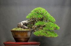 100 year old Black pine in a 100 year old Chinese antique pot. Ready for Meifu-Ten show. Show prep and wired (and picture) by Juan Andrade. #bonsai