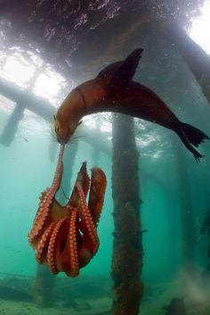 Combat entre un phoque et une pieuvre