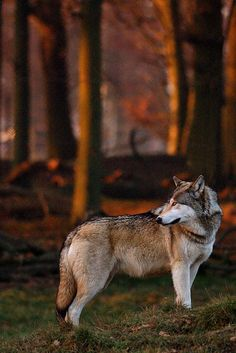 Wolf.| http://awesome-wild-animal-collections.blogspot.com