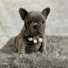 Amazing French Bulldogs | AKC French Bulldog Puppies For Sale | French Bulldog Breeder : AVAILABLE PUPPIES Frenchie Puppies For Sale, Cute Puppies And Kittens, Puppy Names, Dog Names, French Bulldog Breeders, Black French Bulldogs, Cute Funny Animals, Dog Love, Pets