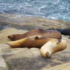 They actually look like me right now  #SiestaTime #SeaLions #Pisolino #Siesta #Sieste #Seal #LionsdeMer #GoodNight #Animal #BonneNuit #LaJolla #SanDiego #California #USA #InstaAnimal #Travel
