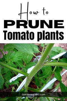 Pruning your tomato plant will help the plant to directs its energy towards producing larger fruit than to develop foliage. Find out how to prune tomato plants and how pruning tomatoes can help your harvests.   #gardening #tomatoes #homestead Trimming Tomato Plants, Tomato Plant Care, Pruning Tomato Plants, Types Of Tomatoes, Growing Tomatoes, Tomato Suckers, Canning Tomatoes, Tomato Garden, Fruit