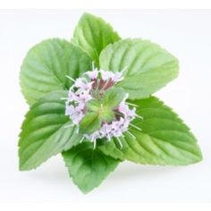 Peppermint Essential Oil - Always nice, invisible iceWe don't leave home without it! Refreshes water, great for clearing breathing and thinking minds. Soothes a headache and uplifts the spirit; liver tonic; anti-inflammatory