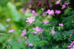 Geranium 'Wargrave Pink' Rustic Gardens, Geraniums, Cottage, Plants, Cottages, Cabin, Planters, Farmhouse, Plant