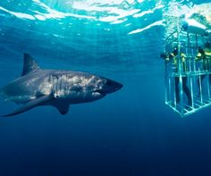 Gansbaai - shark cage diving - Western Cape - about 2 hours drive from Cape Town Shark Diving, Sharks, Cave Diving, Snorkeling, African Vacation, Shark Cage, Great White Shark, Africa Travel, Oh The Places You'll Go