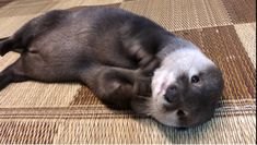 Oh, to hold one just one time. Otters Cute, Baby Otters, Otter Pup, Sea Otter, Animals And Pets, Baby Animals, Otter Love, Super Cute Animals, Lovely Creatures