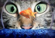 Cats and Aquariums or Fish Tanks. Cute, but dangerous, combination.