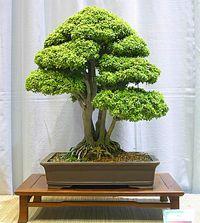 Discover an amazing art of Chinese Bonsai Boxwood Bonsai, Bonsai Plants, Bonsai Garden, Bonsai Trees, Buxus, Flowering Trees, Cool Plants, Ikebana, Houseplants