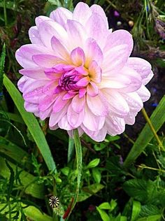 Flower Not sure what type of flower but I thought it was gorgeous so I decided to take a snap of it. Dahlia x hortensis Guillaumin,Flower,garden,pretty,raining