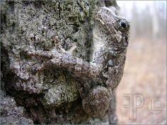 Photo of A cute gray tree frog clings to the rough bark of an oak tree like a rock climber.