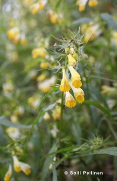Kangasmaitikka (Melampyrum pratense) Photo Soili Pellinen